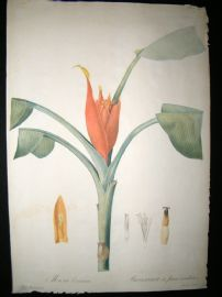 Redoute Les liliacees C1810 Folio Botanical Print. Musa Coccinea 308 Lily